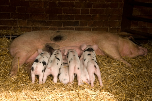 A happy pig with her new family