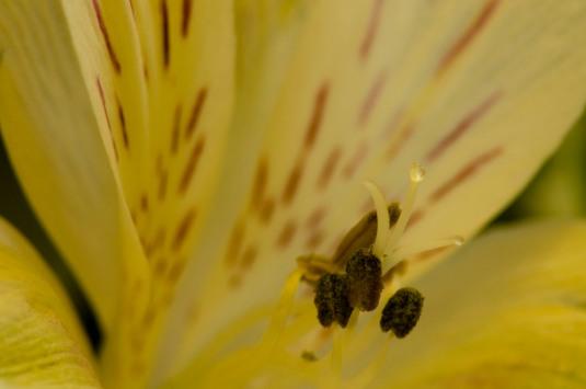 Alstromeria macro2