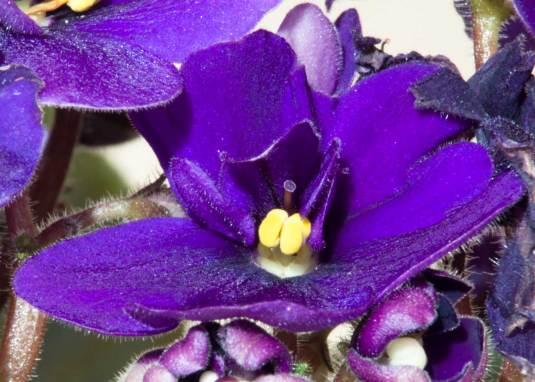African-Violet-macro