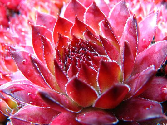 sempervivum photograph