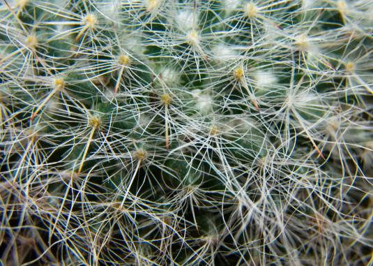 cactus-macro-hairs