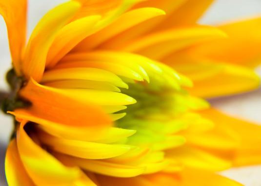 crysanthemum-colours