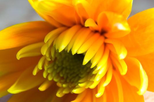 crysanthemum--petal-detail