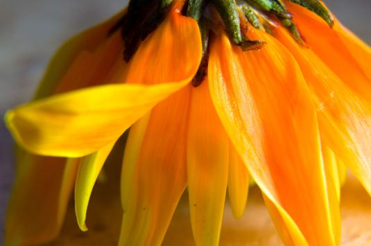 crysanthemum-petals